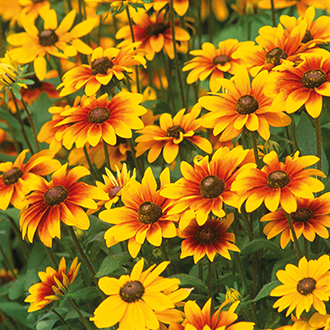 Rudbeckia Toto Mixed plants