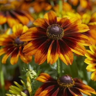 Rudbeckia Blushing Smiley plants