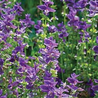 Salvia viridis Plants