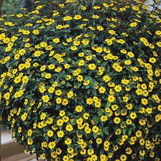 Sanvitalia Show Yellow Plants