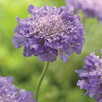 Scabious Fama Deep Blue Flower Plants