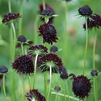 Scabious Chile Black Plant