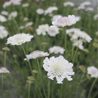Scabious Kudo White Flower Plants