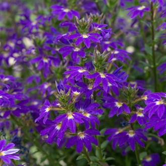 Scaevola Fancy Purple Plants