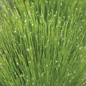 Scirpus cernuus 1ltr Oxygenating Pond Plant