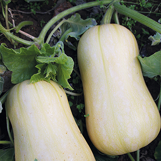 RHS Squash (Butternut) Harrier F1