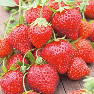 Strawberry Mara des Bois Plants (Everbearer)