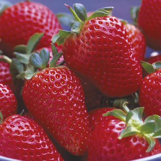 Strawberry Mara des Bois