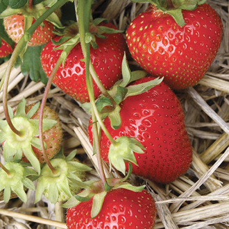 Strawberry Christine A+ Grade Fruit Plants (Early Season)