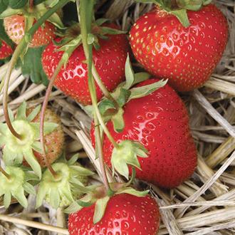 Strawberry Christine A+ Grade Plants (Early Season)