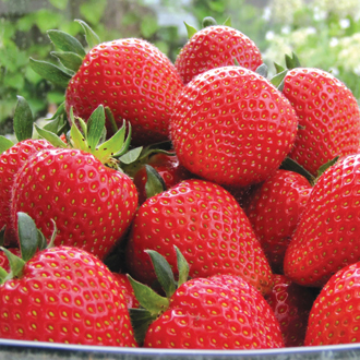 Berry Quick Strawberry Sweetheart Plants