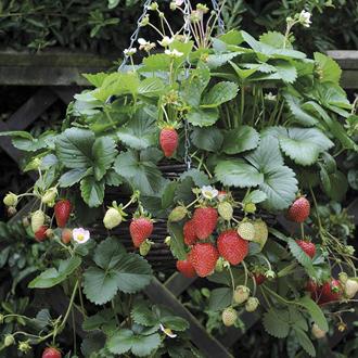 Strawberry Elan F1 Plants