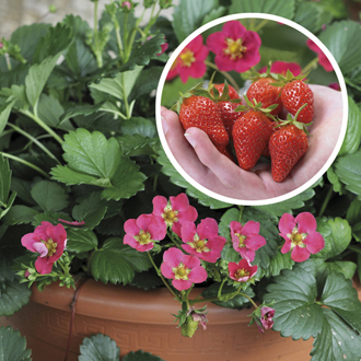 Strawberry Toscana F1 Plants