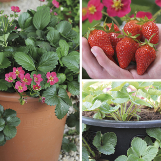 Strawberry Plant Collection & Easi-Plant Hanging Baskets