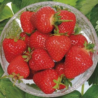 Strawberry Plants A+ Grade Collection - Season Long