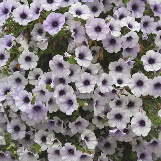 Petunia Surfinia Blue Vein Plants