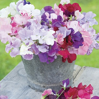 Sweet Pea Old Spice Mixed plants