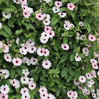Thunbergia Sunny Suzy Pink Beauty Flower Plants