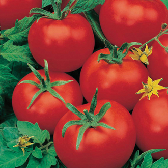 Tomato Ferline F1 Plants