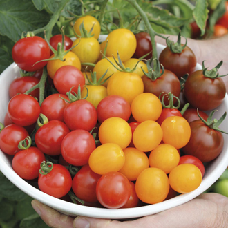 Sun Tomato Plant Collection