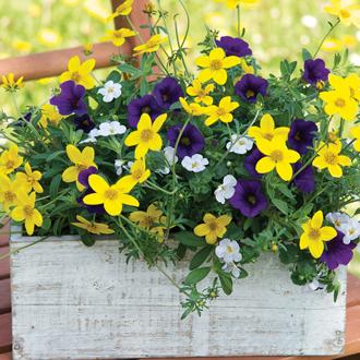 Trixi® Twinkle Star Plants