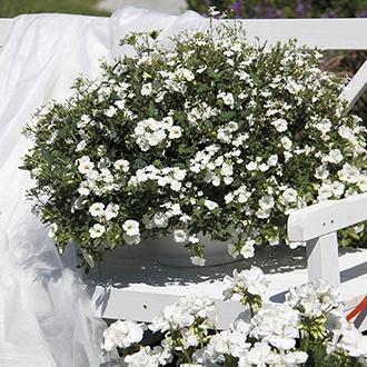 Trixi® White Wedding plants