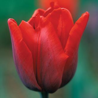 Tulip Coleur Cardinal Bulbs