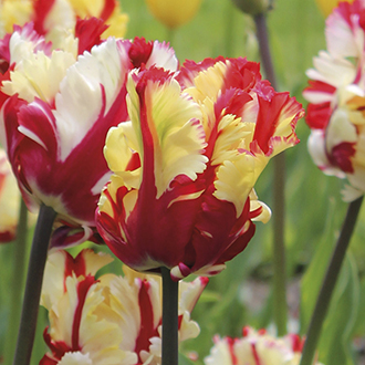 Tulip Flaming Parrot Bulbs