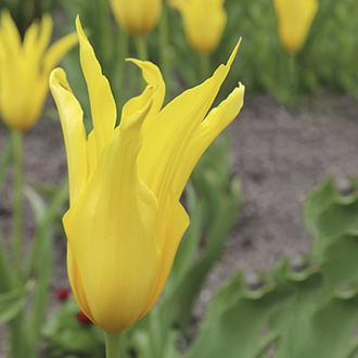 Tulip West Point Bulbs
