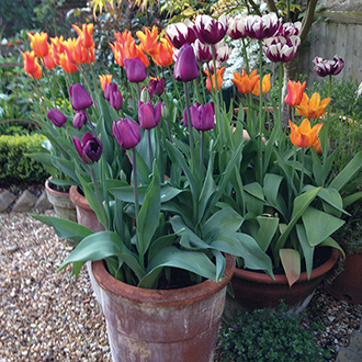 Tulips for Containers Bulb Collection