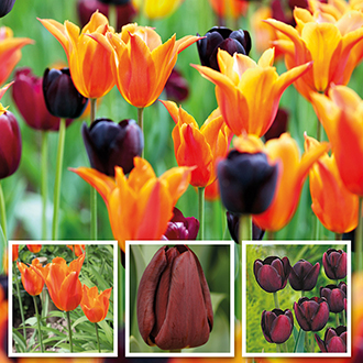 Dramatic Tulip Bulb Collection