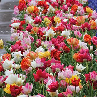 Tulip Double Early Mixed Bulbs