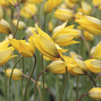 Tulip sylvestris Bulbs