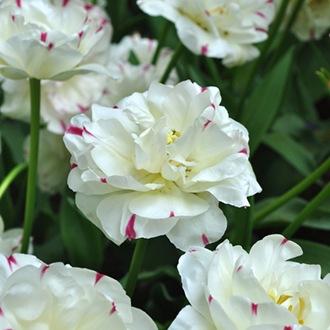 Tulip Danceline (Double Late) Bulbs