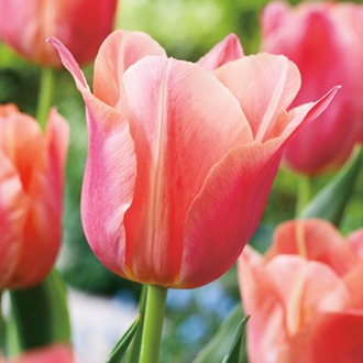 Tulip Stunning Star (Single Late) Bulbs