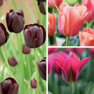 Tulip Late Flowering Bulb Collection