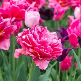 Tulip Chato Bulbs (Double Early)