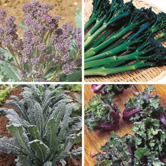 Gourmet Brassica Plant Collection