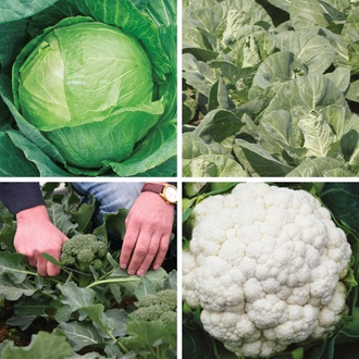 Extra Early Brassica Veg Plant Collection