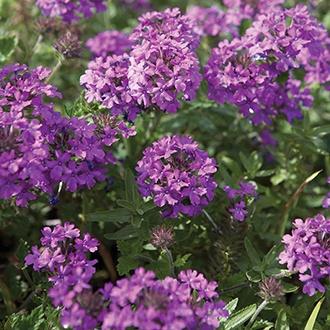 Verbena Homestead Purple Flower Plants