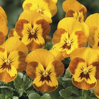 Viola Sorbet Honeybee F1 Plants