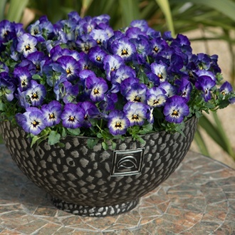 Viola Sorbet Xp Neptune F1 From Mr Fothergills Seeds And