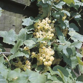 Whitecurrant Blanka Fruit Plant