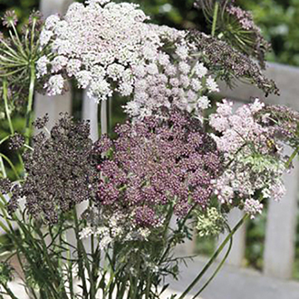 Wild Carrot Flower Plants