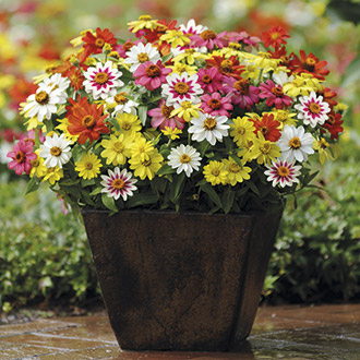 Zinnia Zahara Raspberry Lemonade Mixed F1 Plants