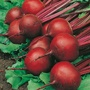 Beetroot Red Ace F1