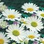 Chrysanthemum Shasta Daisy Alaska