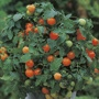 Tomato (Cherry) Garden Pearl