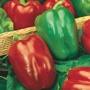 Pepper (Sweet) Californian Wonder