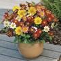 Dahlia Harlequin Mixed Seeds